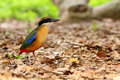 Mangrove Pitta Stock Photos