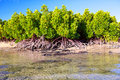 Mangrove plants and roots on sand beach mauritius island Royalty Free Stock Photo