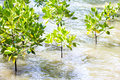 Mangrove reforestation in the sea Stock Photo
