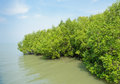 Mangrove reforestation thailand Royalty Free Stock Photography
