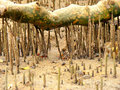 Mangrove roots forest in leizhou peninsula guangdong province china Stock Image