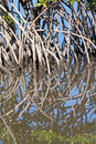 Mangrove roots reflected swamp waters Royalty Free Stock Images