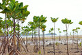 Mangrove and roots Royalty Free Stock Photo
