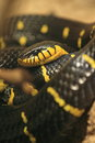 Mangrove snake Stock Photography