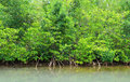 Mangrove swamp in Petit Canal in Guadeloupe Royalty Free Stock Photo