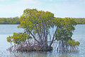Mangrove swamp waters Stock Image