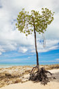 Mangrove Tree Stock Photo