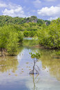 Mangrove tree Royalty Free Stock Photo