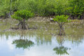 Mangrove tree Stock Photos