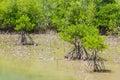 Mangrove tree Stock Images