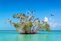 Mangrove Tree and Frigatebirds Royalty Free Stock Photo