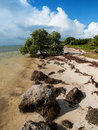 Mangrove tree growing on edge of ocean black the sandy beach the the in the long key florida Stock Photo