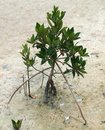 Mangrove tree small in florida usa Royalty Free Stock Images