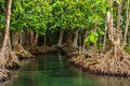 Mangrove trees along the turquoise green wate water in stream Royalty Free Stock Image