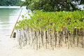 Mangrove trees are grown on the shore Royalty Free Stock Image