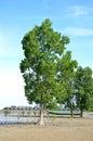 Mangrove trees a tree on the edge of the sea Stock Photo