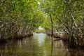 Mangrove Royalty Free Stock Photo