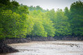 Mangroves forest in phuket thailand Royalty Free Stock Photography