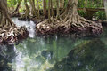 Mangroves forest unseen in thailand tha pom krabi thailand Royalty Free Stock Photography