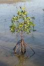 Mangroves growing on sea in thailand Royalty Free Stock Photography