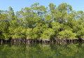 Mangroves mangrove trees on an inlet of the river gambia Stock Image