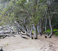 Mangroves mangrove trunks on a stretch of sand Royalty Free Stock Image
