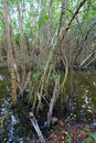 Mangroves of puerto rico thick and swampy area near fajardo Stock Photography