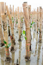 Mangroves reforestation in coast of thailand young volunteer planting tree activity Stock Images