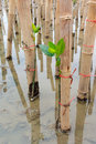 Mangroves reforestation in coast of thailand young volunteer planting tree activity Royalty Free Stock Images
