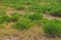 Mangroves on swampy area with mud and little crabs Royalty Free Stock Photo