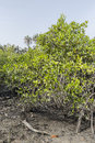 Mangroves trees landscape of makasutu national park in gambia africa Royalty Free Stock Photo