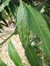 Mangue d aphis Photos libres de droits