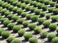 Manicured bushes in rows Royalty Free Stock Photography
