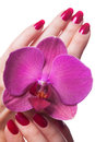 Manicured nails caress dark pink flower pedals painted a deep red against white background Royalty Free Stock Images