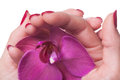 Manicured nails caress dark pink flower pedals painted a deep red against white background Stock Photo