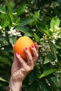 Manicured Woman Hand Holding a Orange Royalty Free Stock Photo
