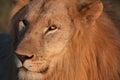 Manligt lejon Royaltyfria Foton