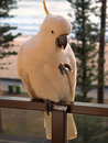 Manly Cockatoo front Royalty Free Stock Photography