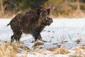 Mannelijk everzwijn in de sneeuw Stock Afbeeldingen