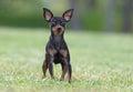 Mannelijke pincher toy dog Royalty-vrije Stock Foto's
