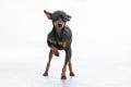 Mannelijke pincher toy dog Stock Fotografie