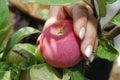 Mano con la manzana Foto de archivo libre de regalías