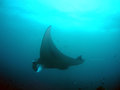 Manta Royalty Free Stock Images
