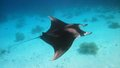 Manta ray Photo stock