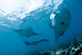 Manta ray Photos stock