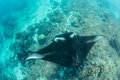 Manta Ray and Coral Reef Royalty Free Stock Photo