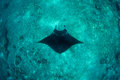 Manta Ray and Deep Reef Royalty Free Stock Photo