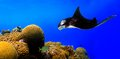 Manta ray a giant swimming along colorful tropical reef Stock Image