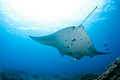 Manta ray in indian ocean maldives north male atoll Royalty Free Stock Image