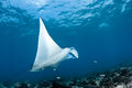 Manta ray in indian ocean maldives north male atoll Stock Images